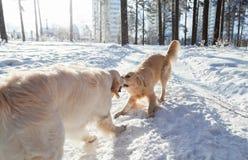2 собаки золотых retriever играя outdoors в зиме Одежды для собак Стоковое Изображение