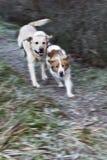 собаки играют бег Стоковое Изображение