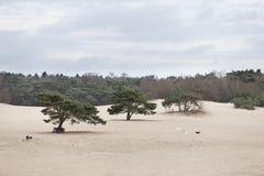 Собаки играют на песке lange duinen в Soest Стоковая Фотография