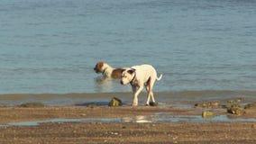 2 собаки играя в воде на пляже сток-видео