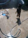 Собаки играя в воде стоковые изображения rf