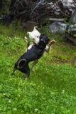 Собаки играя в траве Стоковая Фотография