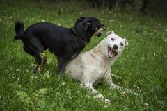 Собаки играя в траве Стоковые Фотографии RF