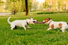 2 собаки играя игру перетягивания каната с игрушкой пулера Стоковые Фотографии RF