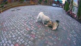 Собаки играя на дороге акции видеоматериалы