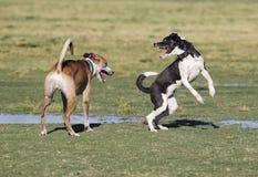 2 собаки играя на парке Стоковое Изображение RF