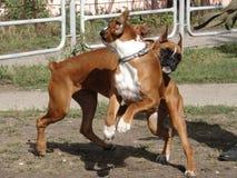 Собаки играя на лужайке Стоковое фото RF