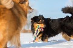 собаки играя снежок 2 Стоковая Фотография RF
