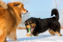 собаки играя снежок 2 Стоковые Изображения