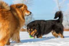 собаки играя снежок 2 Стоковые Фото