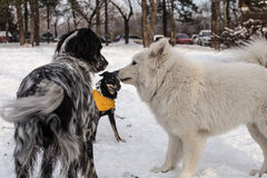 собаки играя снежок Стоковое фото RF