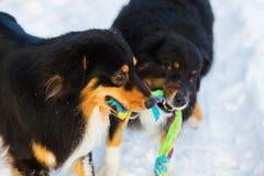 2 собаки играя для игрушки Стоковое Изображение