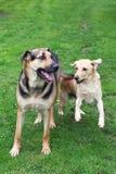 собаки играя 2 Стоковое Изображение