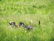 2 собаки играя (1) Стоковое Изображение