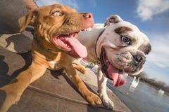 собаки играя 2 стоковое фото rf