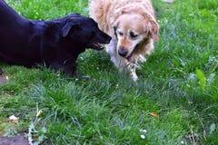 собаки играя 2 Стоковое Фото
