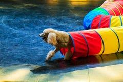 Собаки игрушечного Стоковые Фото