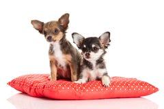 Собаки изолированные на белой предпосылке Стоковые Фото