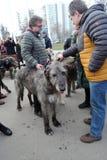 Собаки ирландского wolfhound на торжестве дня ` s St. Patrick в Москве Стоковые Фото