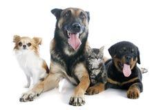 Собаки и котенок Стоковое Фото
