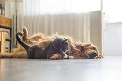 Собаки и кошки snuggle совместно стоковые фотографии rf