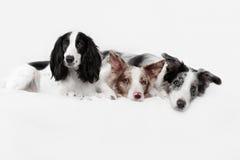 3 собаки Коллиы границы в студии Стоковое фото RF