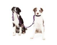 2 собаки Коллиы границы принимают один другого для прогулки стоковые изображения