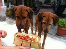 собаки клубники стоковые фото