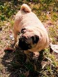 Собаки мопса Стоковое Фото