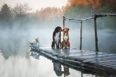 3 собаки на деревянной пристани Стоковое Фото