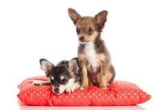 Собаки на подушке изолированной на белой предпосылке Стоковое Изображение RF