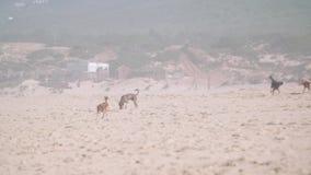 Собаки на пляже сток-видео