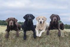 Собаки на связках сена стоковые изображения rf