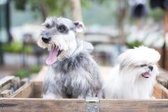 Собаки на смотреть стула Стоковая Фотография
