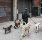 Собаки на улицах NYC Стоковое Изображение