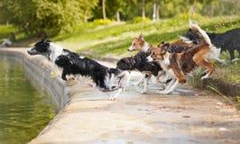 Собаки объениняются в команду скакать в воду стоковое изображение