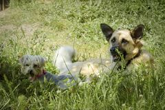 2 собаки отдыхая под тенью дерева в поле стоковая фотография rf
