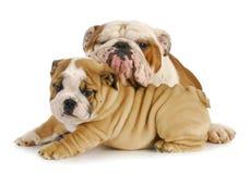 Собаки отца и сынка Стоковые Изображения