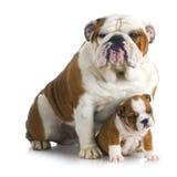 Собаки отца и сынка Стоковая Фотография