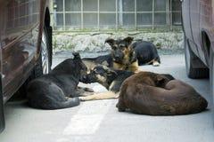 собаки пакуют помехи Стоковые Фото