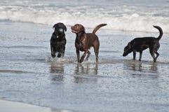 собаки пляжа Стоковая Фотография