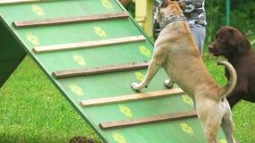 Собаки подготавливают для бежать на оборудовании прогулки собаки акции видеоматериалы