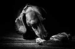 Собаки породы таксы едят часть мяса на косточке на темной предпосылке Стоковая Фотография RF
