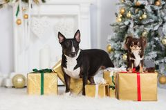 2 собаки представляя внутри помещения для рождества стоковое фото rf