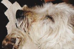 собаки препятствовали спать лож Стоковая Фотография RF
