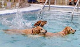 Собаки плавая публично бассейн Стоковые Фотографии RF