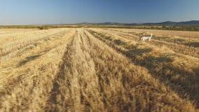Собаки родословной указателя в культивируемом пшеничном поле сток-видео