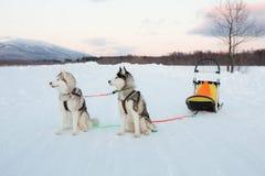 Собаки сибирской лайки ждут их предпринимателя после sledding стоковое фото