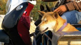 Собаки сидят в трейлере тайского мотоцикла с прогулочной коляской ashurbanipal сток-видео