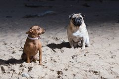 2 собаки сидят на Балтийском море Mops белизны и терьер игрушки brovn стоковое фото
